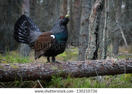 Western Capercaillie (Tetrao urogallus) amongst the woodland, stood on a fallen tree. This image was taken in the Highlands, Scotland. - stock photo