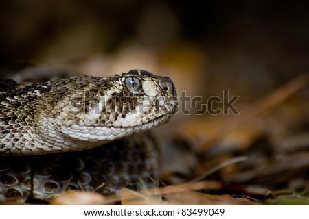 Western Diamondback Rattlesnake - stock photo