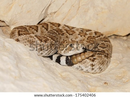 Western Diamondback Rattlesnake, Crotalus atrox, coiled in the rocks and ready to strike  - stock photo