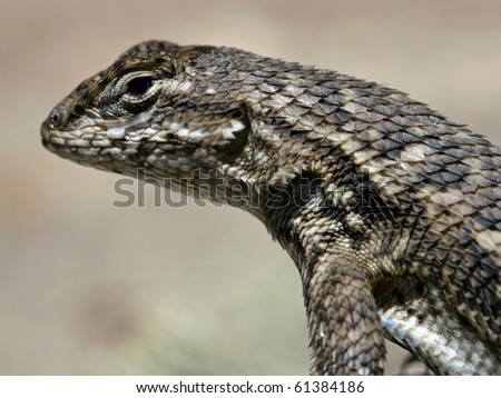 Western Fence Lizard (Sceloporus occidentalis) - stock photo
