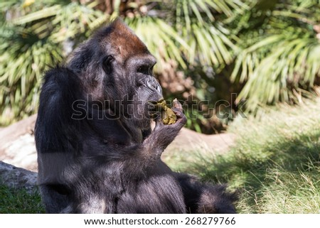 Western Gorilla at a zoo. Yes he is eating his own poop. gorillas DNA  is  95% to %99 similar to that of humans. - stock photo