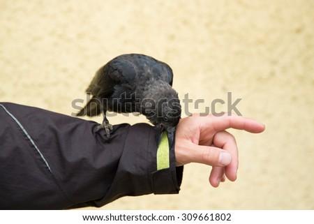 Western jackdaw (Corvus monedula) sitting on hands - stock photo