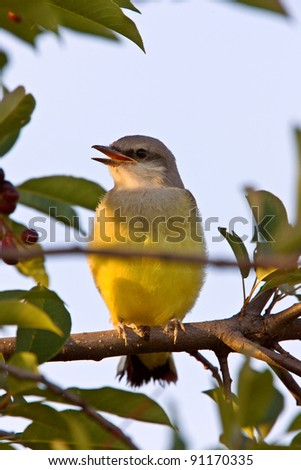 Western King bird perched in tree - stock photo