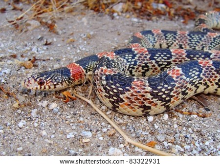 Western Long-nosed Snake, Rhinocheilus lecontei - stock photo