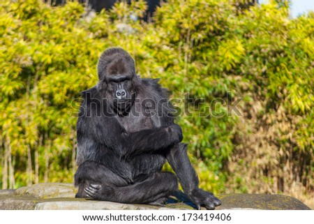 Western lowland gorilla (Gorilla gorilla gorilla) lives in montane, primary, and secondary forests and lowland swamps in central Africa.