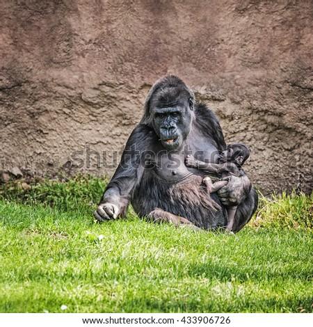 Western lowland gorilla nursing her thirteen days old baby  - stock photo