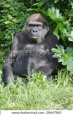 Western Lowland Gorillas in the wild