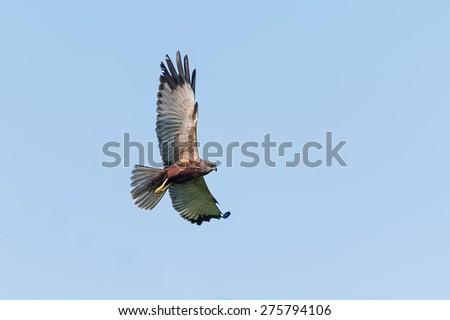 Western marsh harrier in flight - stock photo