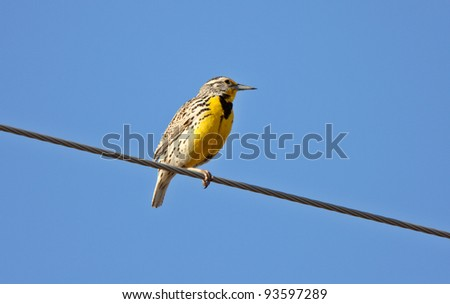 Western Meadowlark perched on overhead wire - stock photo
