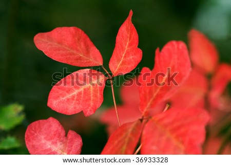 Western Poison Oak (Toxicodendron diversilobum) - stock photo