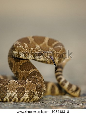 Western Rattlesnake coiled with forked tongue extended