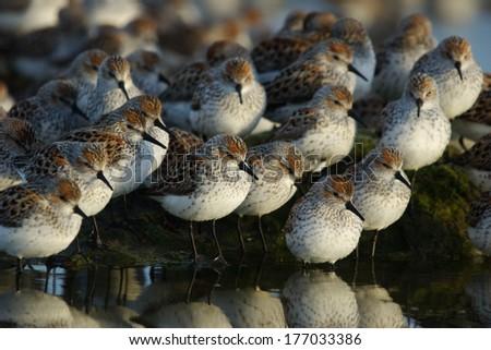 western sandpiper flock - stock photo