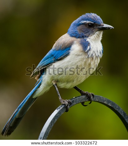 Western Scrub Jay (Aphelocoma californica). The Western Scrub Jay is a species of scrub-jay native to western North America. - stock photo