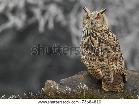 Western siberian eagle owl (Bubo bubo sibiricus) - stock photo