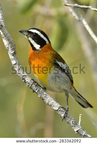 Western Spindalis, Spindalis zena, perched on branch. Stripe-headed Tanager. Cuba - stock photo