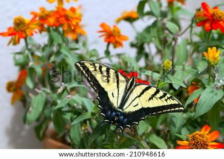 Western Tiger Swallowtail in a pot of native zinnias on a balcony in Santa Fe, New Mexico - stock photo