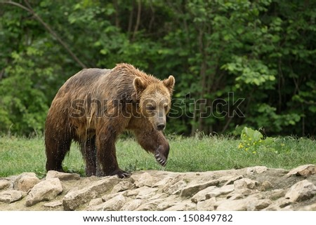 Wet brown bear after taking a bath - stock photo