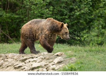 Wet brown bear walking after taking a bath - stock photo