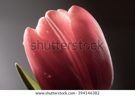 wet bud of the red tulip closeup on dark background