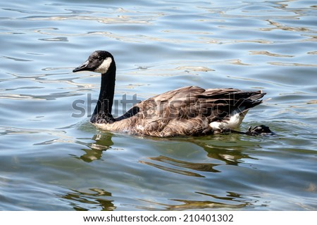 Wet Canada goose (Branta canadensis) swimming in the ocean on a sunny day - stock photo
