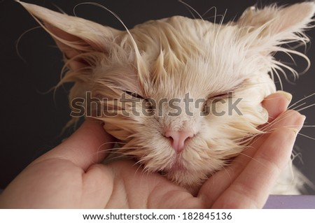 Wet cat after a bath - stock photo