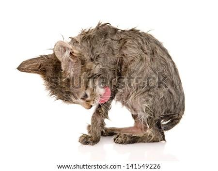 wet cat licks itself. isolated on white background - stock photo