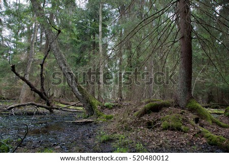 Wet coniferous stand in spring with spruce tree next to waterhole,Bialowieza Forest,Poland,Europe