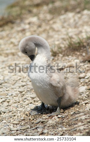 Wet cygnet on stone beach, cleaning - stock photo