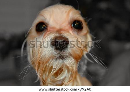 Wet dog. - stock photo