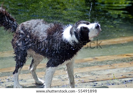 Wet dog shaking off after a swim in the river at a dog park. Both drool and water are flying off of this black and white dog on a hot summer day. - stock photo