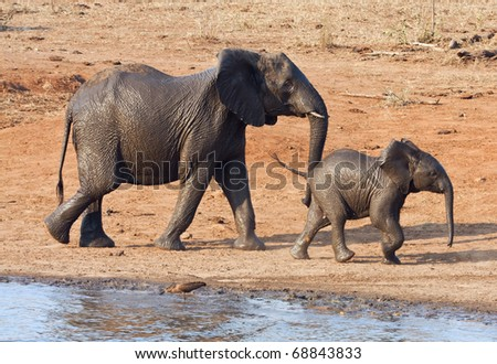 Wet elephant cow and calf playing at the water hole leaving