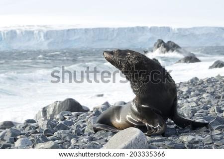 Wet Fur seal , Half Moon Bay, Antarctica - stock photo
