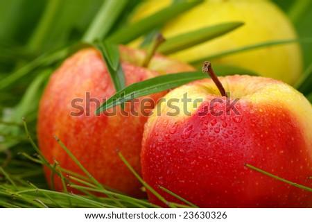 wet garden fresh apples among leaves - stock photo