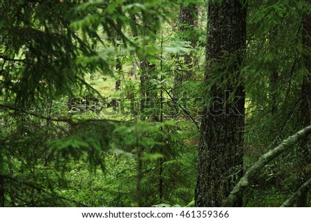 wet green summer forest of karelia