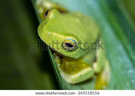 Wet green tree frog sitting on a leaf.