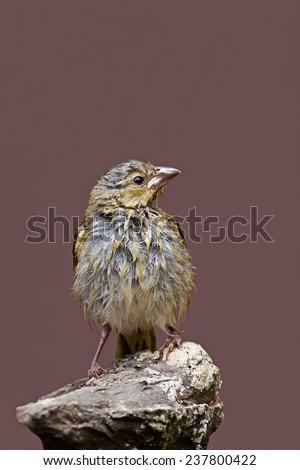 Wet Immature Southern Masked-Weaver; Ploceus velatus  - stock photo