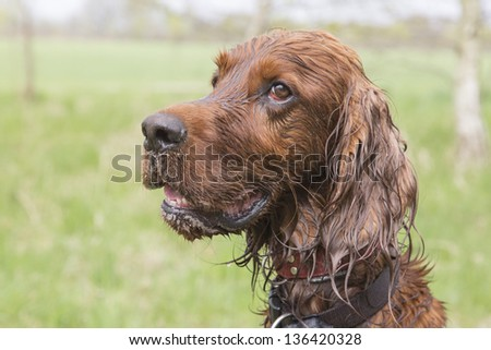 Wet irish setter looks to his trainer waiting for commands