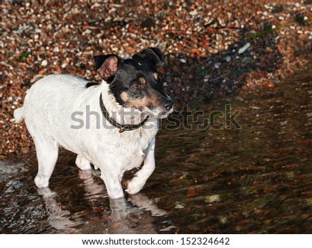Wet Jack Russell Terrier on the beach near sea water. - stock photo