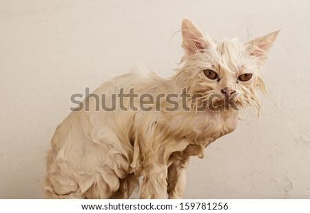 Wet kitten with fleas  - stock photo