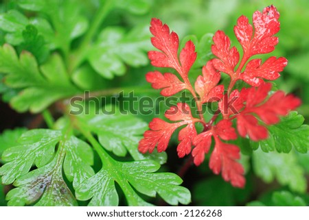 Wet leaves of geranium robertianum