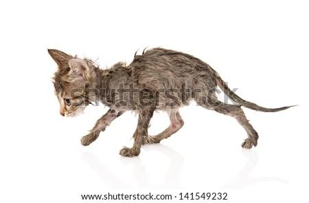Wet little kitten isolated on white background - stock photo