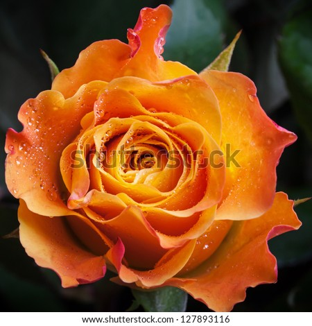 Wet orange and red rose flower close-up photo with shallow depth of field - stock photo