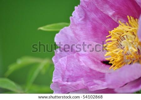 Wet paeonia - stock photo
