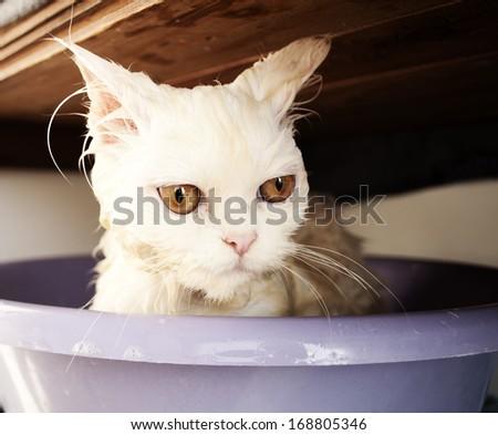 Wet Persian kitten having a bath - stock photo