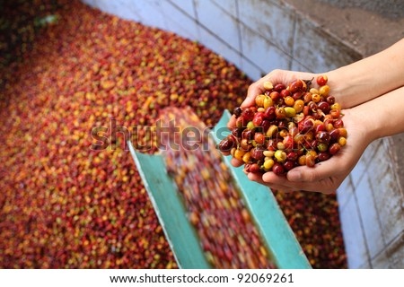 Wet Process of arabica coffee - stock photo