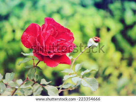 Wet red rose - stock photo