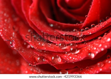 Wet Red Rose Close Up With Water Droplets - stock photo