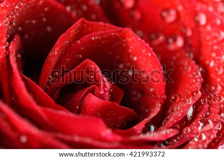 Wet Red Rose Close Up With Water Droplets