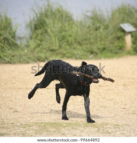 Wet running dog playing with stick - stock photo