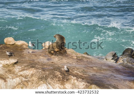 Wet sea lion sun bathing with arched back and three seagulls on a cliff by the ocean in La Jolla cove, San Diego, California - stock photo